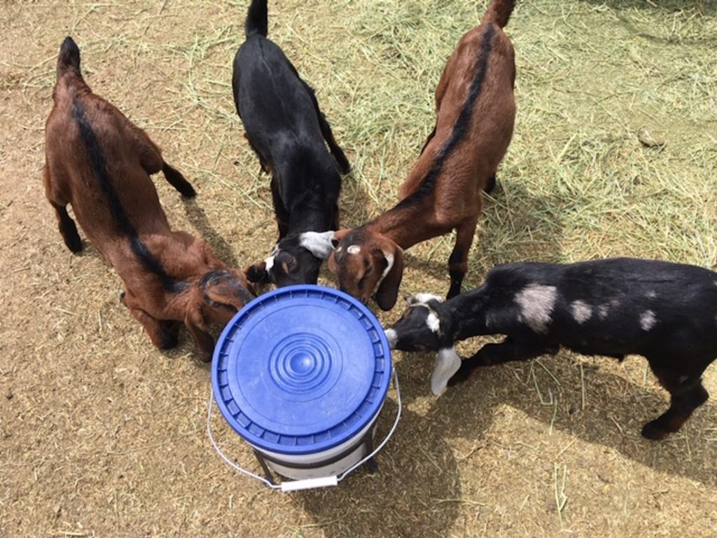 when-to-wean-a-goat