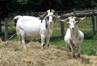 Breed Profile: Kiko Goat