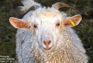 Breed Profile: Angora Goats