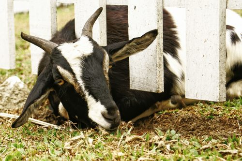 Do Female Goats Have Horns? Busting 7 Goat-Keeping Myths