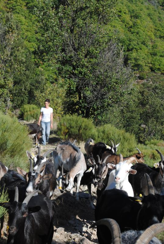 ethical-dairy-herding-goats-mountains