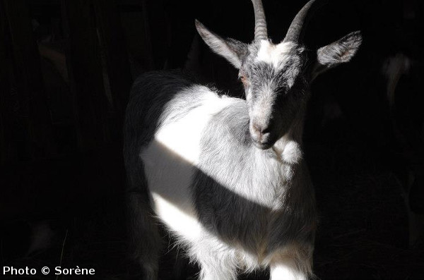 Ethical Dairy Finds Solutions to the Disadvantages of Goat Milk Production