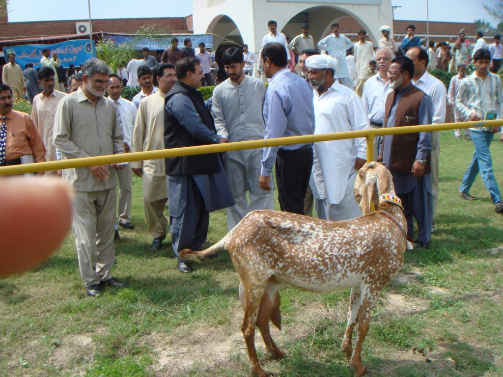 The Goat Competitions of Pakistan - Backyard Goats
