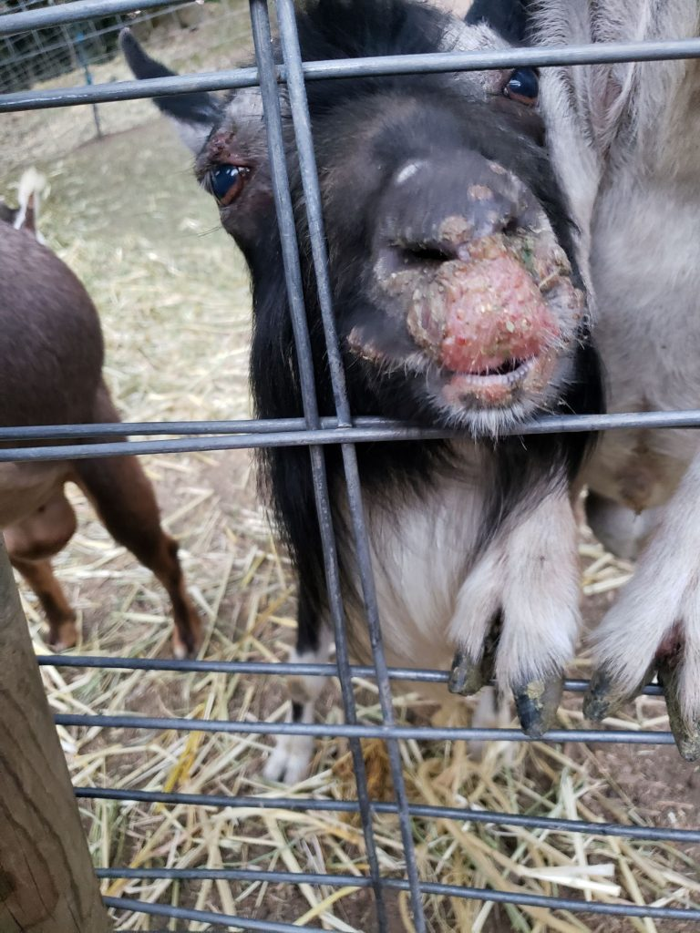 sore-mouth-in-goats