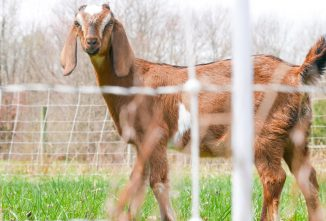 Training Goats to an Electric Netting Fence