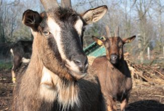Goat Enrichment: The Importance of Mental Health