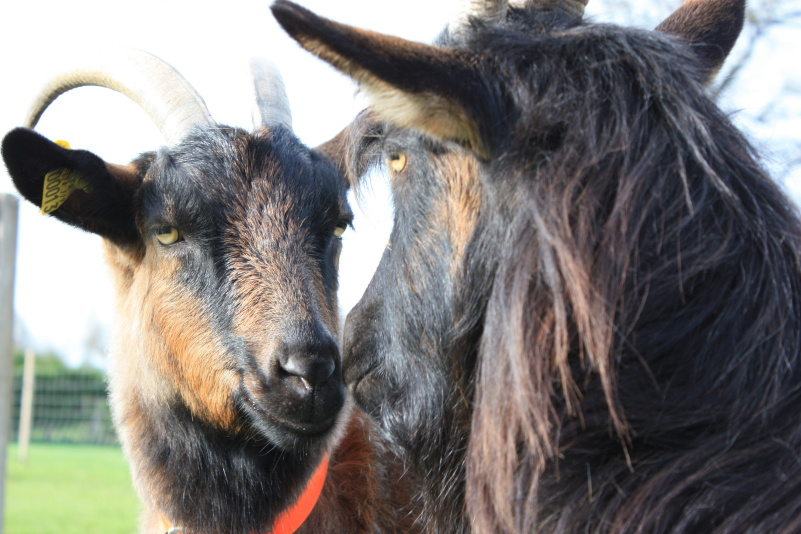 goats-are-social-animals