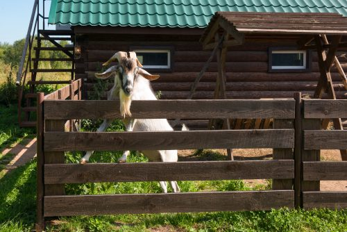 A Crash Course for Goat Breeding Season