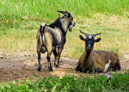 Chlamydia in Goats and Other STDs to Watch For