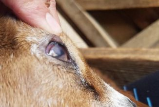 Identifying and Treating Goat Pink Eye