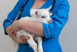 Selenium Deficiency and White Muscle Disease in Goats