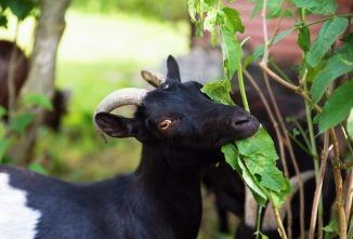 Understanding the Goat Digestive System Avoids Tragedies
