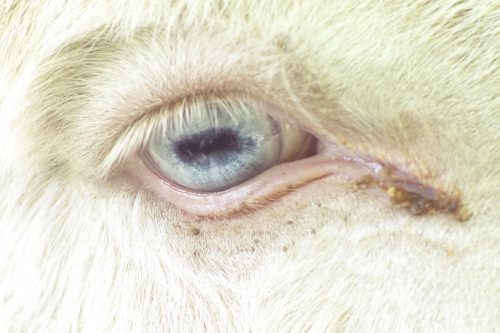 Recognizing and Treating Anemia in Goats