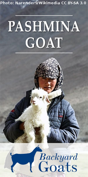 pashmina-goat-kid-and-herder