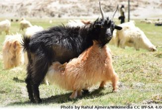 Breed Profile: Pashmina Goat