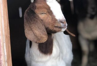 Boer Goats: Beyond the Meat