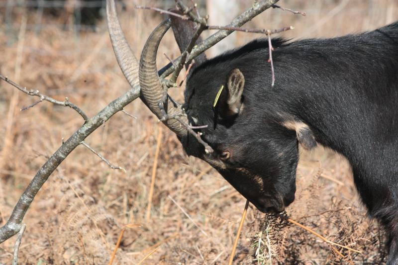 goat-butting-branches