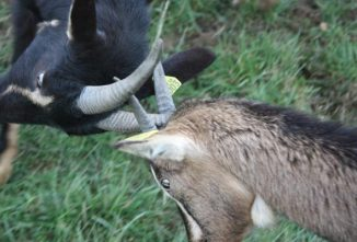 Goat Behavior Demystified