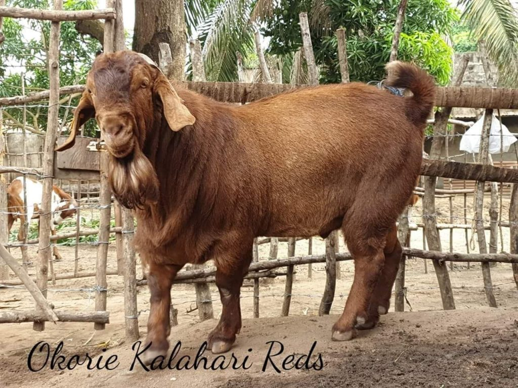 largest-goat-breed