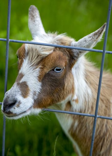 Building the Best Fence for Goats