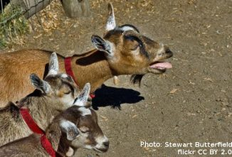 Do Goats Have Accents and Why? Goat Social Behavior