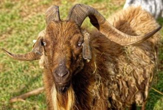 Breed Profile: Spanish Goat
