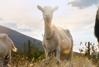 Managing CAE and CL in Goats