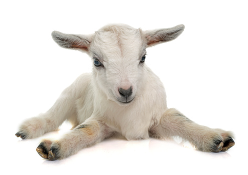 The Best Goat Gestation Calculator
