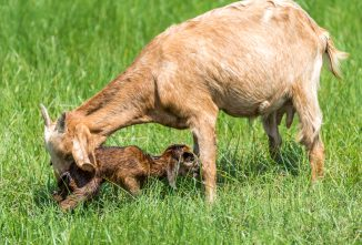 Damsels in Distress – Recognize Goat Labor Problems
