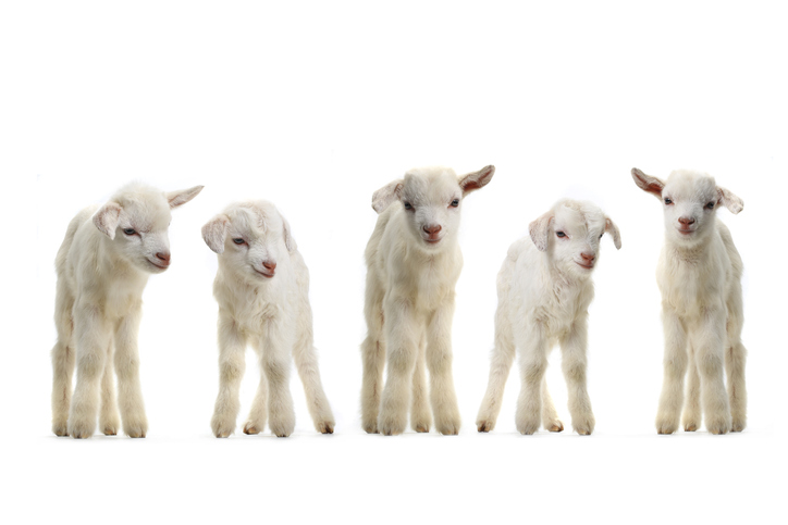 goat-gestation-calculator
