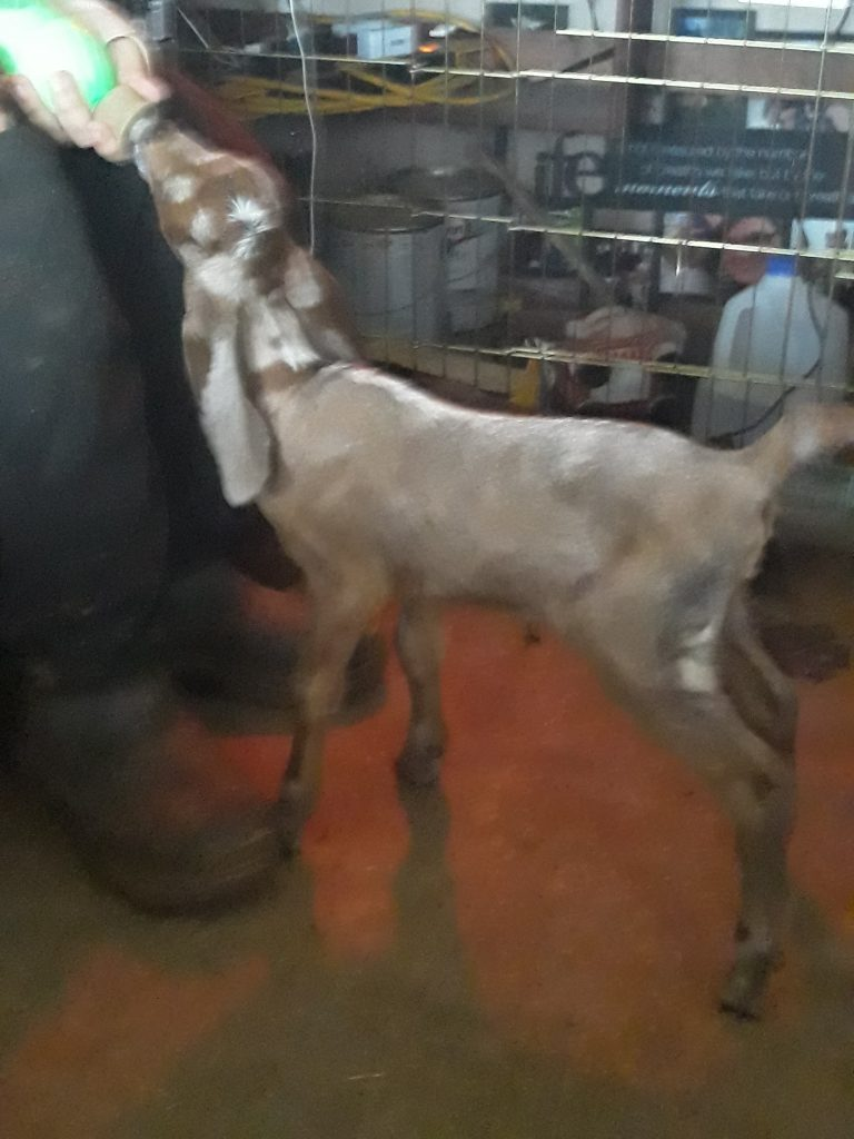 white-muscle-disease-in-goats