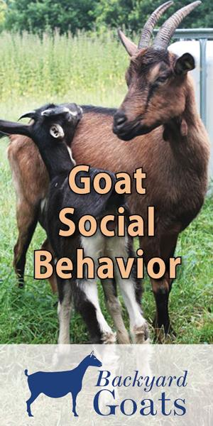 goat-social-behavior