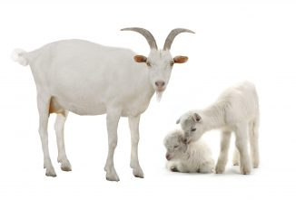 Hermaphroditism and Polled Goats