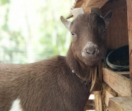 Scours in Goats and a Homemade Electrolyte Recipe