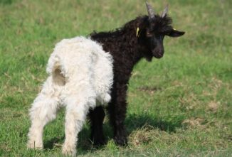 Breed Profile: Valais Blackneck Goat