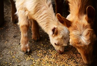Back from the Vet: Rumen Disorders in Goats