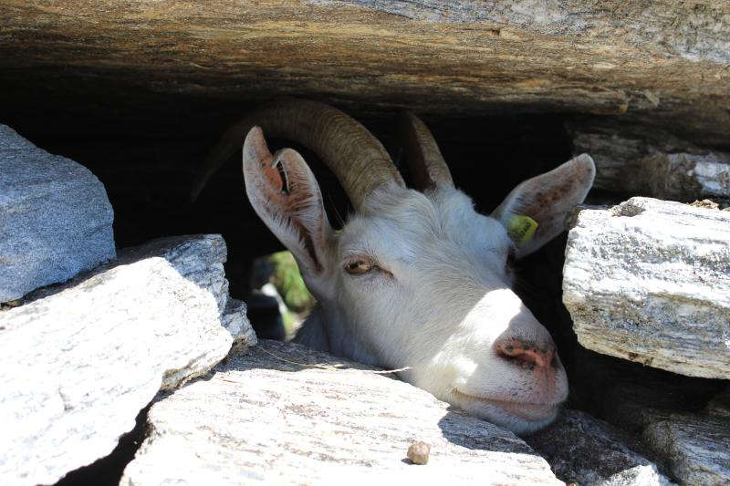 what do goats do in caves