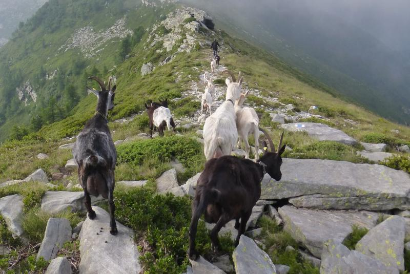 what do goats do in mountains