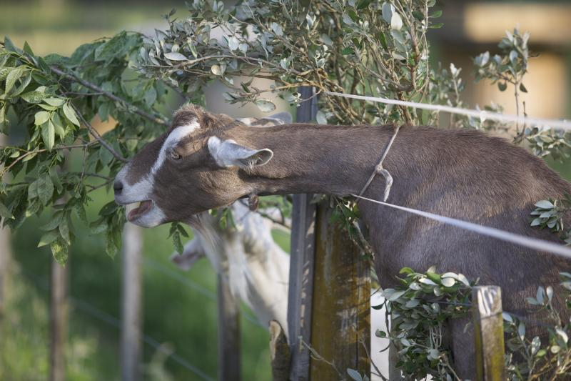 goats-prefer-eating-branches