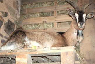 What Do Goats Do Naturally? 7 Goat-Friendly Barn Essentials