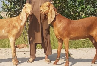Breed Profile: Beetal Goats