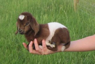 Small Goat Breeds