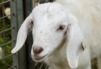 I'm Selling, Trading, or Giving Away My Goat
