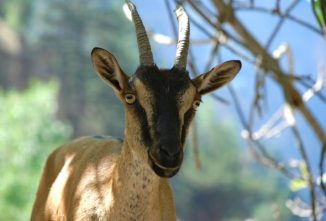 Breed Profile: Kri-Kri Goat