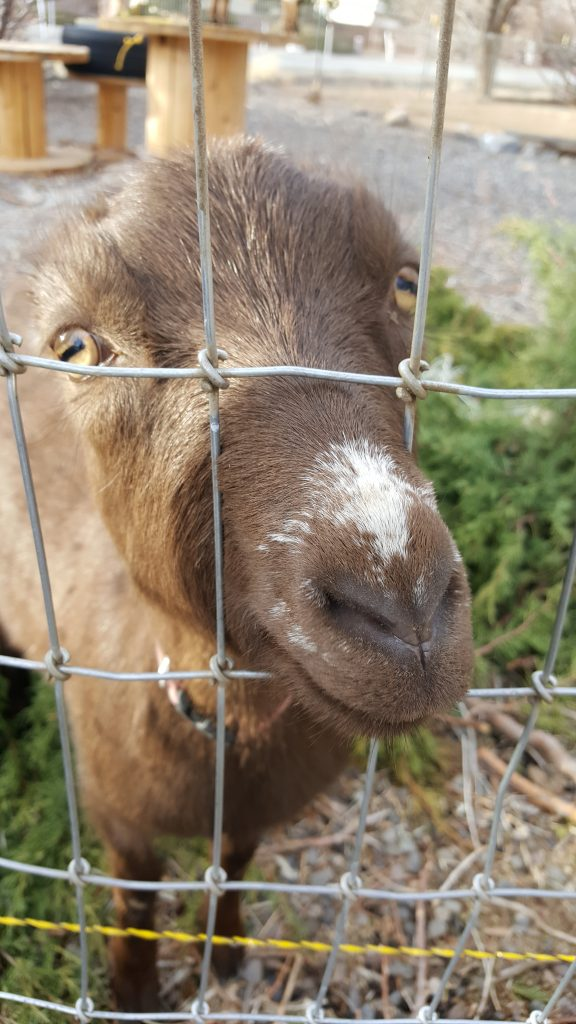small-goat-breeds