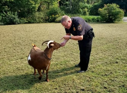 Goats and The Law
