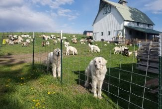 What Guards Livestock Guardian Dogs?