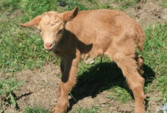Breed Profile: Golden Guernsey Goat