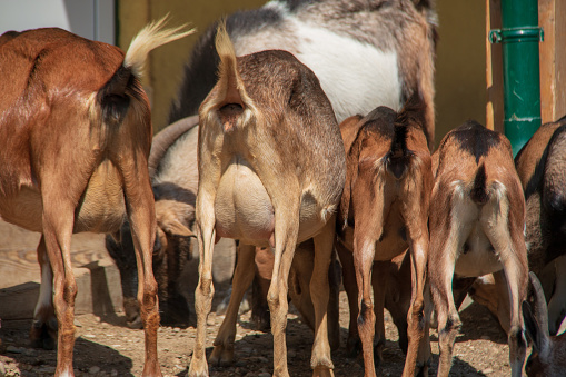 Goat Prolapses and Placentas