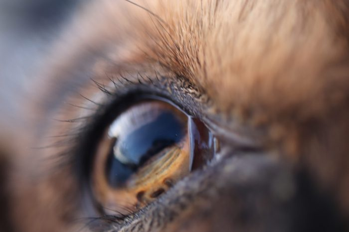 Blindness in Goats: 3 Common Causes